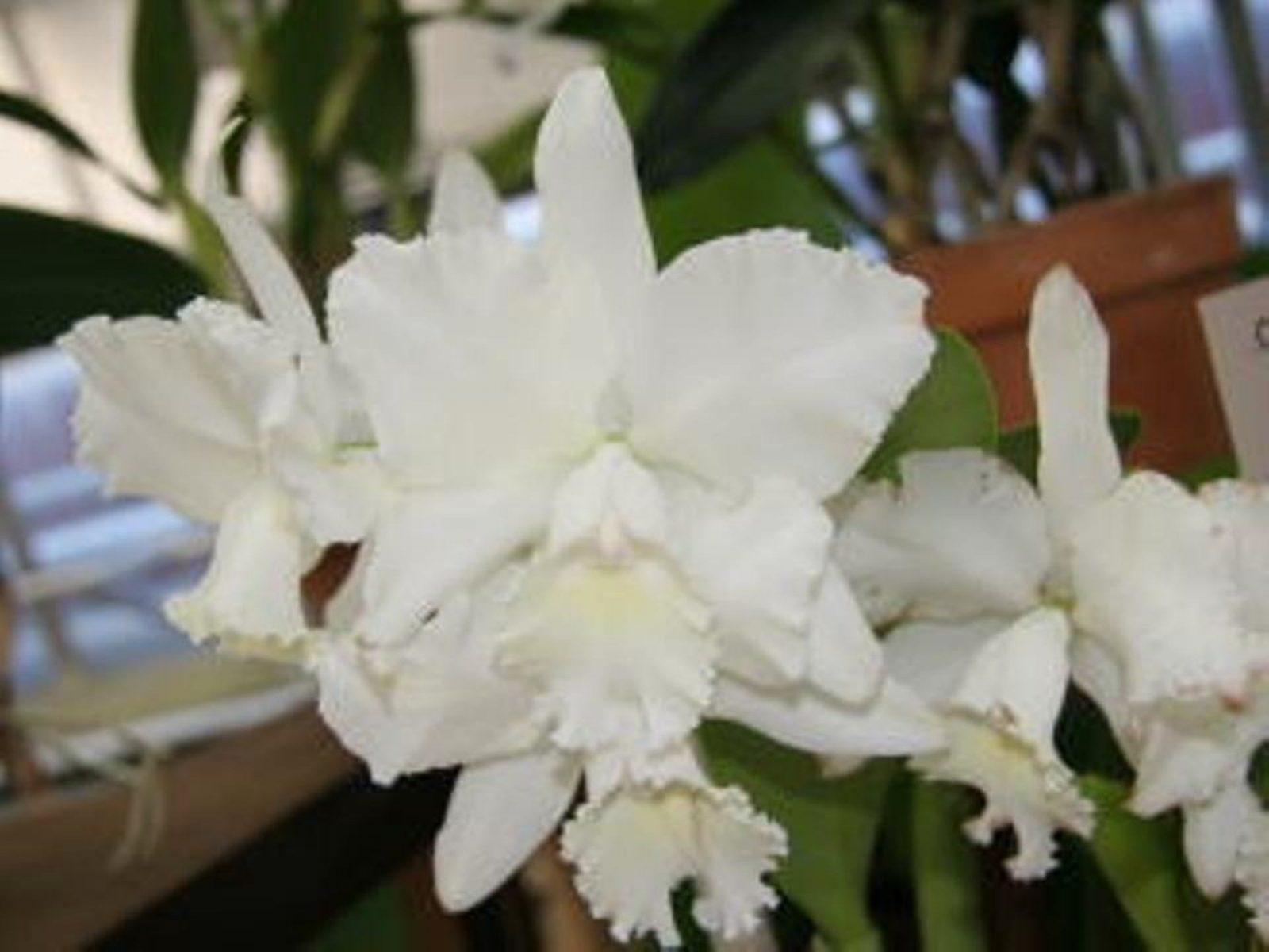 Cattleya Hawaiian Wedding Song X Joanne In A 68mm Tube The Hanging